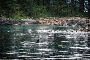 attaque d'orques sur lions de mer