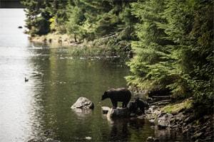 un ours noir en Alaska